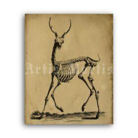 Printable Deer Skeleton antique zoology anatomy illustration - vintage print poster