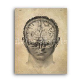 Printable Human Brain cross-section - anatomy, neuroscience poster - vintage print poster