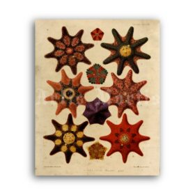 Printable Sea Stars, Starfish - vintage nautical illustration poster - vintage print poster