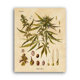 Printable Cannabis sativa plant – marijuana, psychoactive herb print - vintage print poster