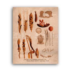 Printable Ergot, hallucinogenic fungi, medieval ergotism, botanical art - vintage print poster