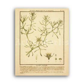 Printable Syrian Rue, Peganum Harmala, shamanic plant, ayahuasca art - vintage print poster