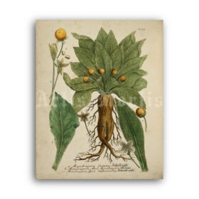 Printable Mandragora – magical plant, Mandrake, witchcraft, wicca art - vintage print poster