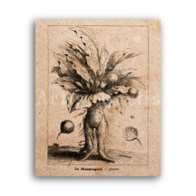 Printable Mandragora, Mandrake – magical plant, herbal magic print - vintage print poster
