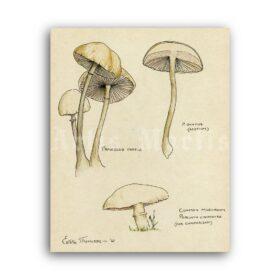 Printable Panaeolus - psilocybin mushroom, psychedelic, shamanic print - vintage print poster