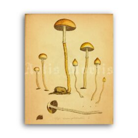 Printable Psilocybe mushroom - psilocybin, psychoactive, shamanic art - vintage print poster