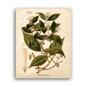 Printable Strychnos toxifera, Curare Poison plant botanical poster - vintage print poster