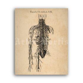Printable Human circulatory system, veins, arteries – anatomy poster - vintage print poster